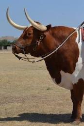 longhorn toro
