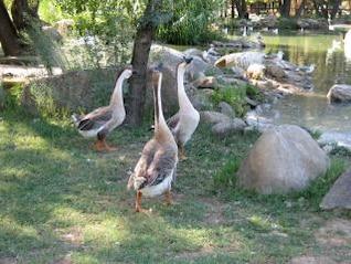 Los gansos de cuello largo