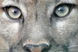 los ojos de puma