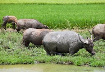 Los rebaños de búfalos están comiendo hierba en el campo.