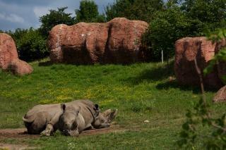 los rinocerontes de África
