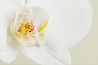 Macro foto de flor de orquídea