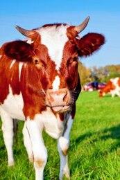 mamíferos vaca