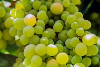 Manojo de uvas en un fondo del cielo asoleado. De cerca.