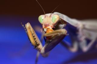 Mantis religiosa, el santo