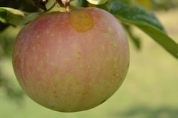 Manzana, la fruta