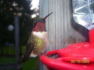 maravilla de un colibrí