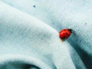mariquita, insecto