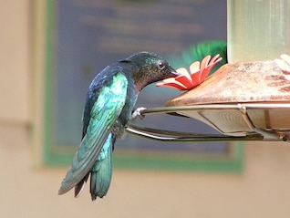 Martinica colibrí flor del pájaro