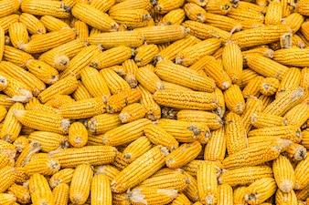 Montón de mazorcas de maíz
