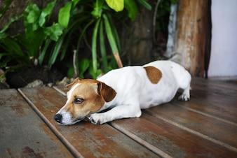 Nariz de perro con pedigrí pequeño animal