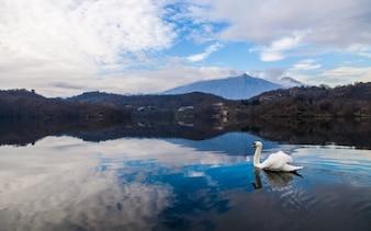 Natación del cisne en el lago