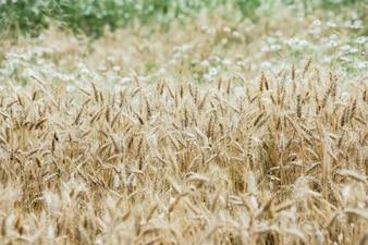 Campo de trigo naturales