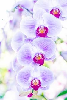 Naturaleza flor de la flor de pétalos phalaenopsis