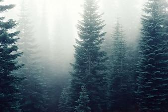 Niebla sobre los pinos