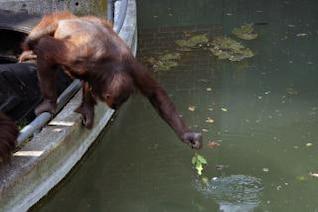 orangután se extiende por los alimentos