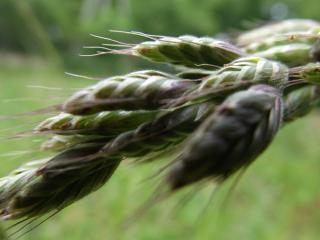 oreja de grano