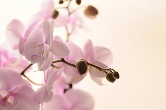 Orquídea floreciente hermosa aislada en blanco. Flor rosada de la orquídea.