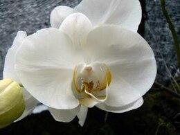 orquídeas, bali
