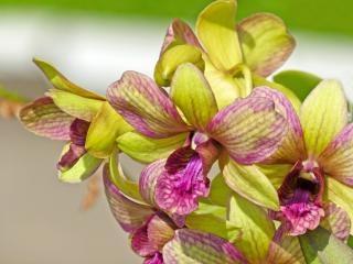 orquídeas, flor