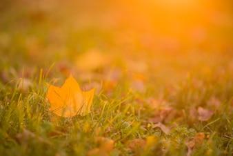 Otoño, otoño, hojas de fondo. Una rama de árbol con hojas de otoño de un arce en un fondo borroso. Paisaje en la temporada de otoño