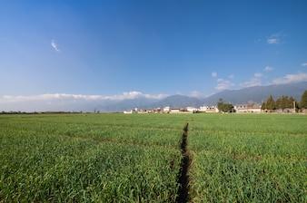 Paisaje de cultivo de arroz