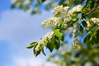 Pájaro rama de cerezo en primavera
