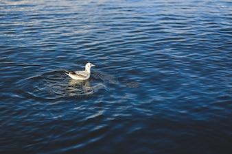 Paloma nadando en el agua