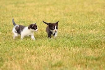 Pareja de gatitos jugando