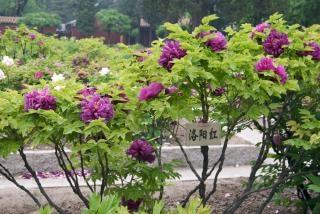 peonía árbol, planta