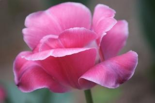 peonía rosa árbol, árbol