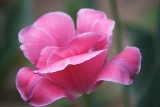 Peonía rosa solo árbol