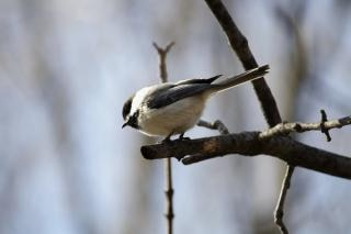 Pequeñas alas de las aves de aves