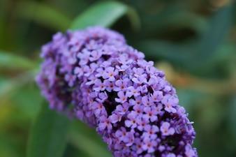 Pequeñas flores de color violeta