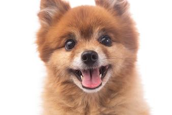 Pequeño perro rojo acostado sobre un fondo blanco