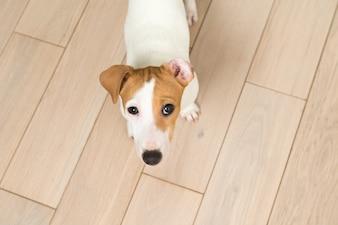 Perrito de Jack Russell Terrier
