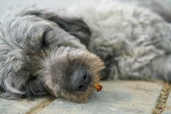 Perro dormido de cerca
