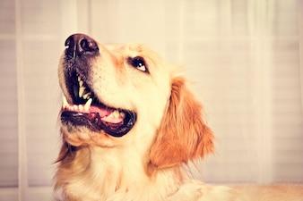 Perro lindo del golden retriever.