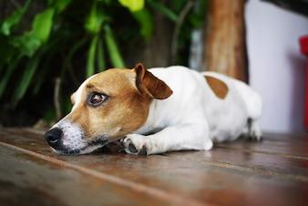 Perro relajarse tumbado pedigrí belleza