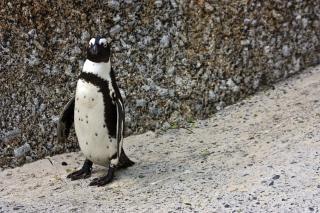 Pingüino africano alas