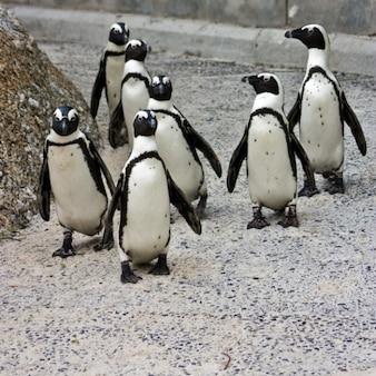 Pingüino posse