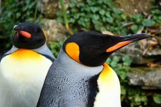 pingüinos, aves