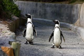 Pingüinos africanos al aire libre