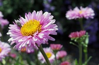 Flor rosada y la mosca