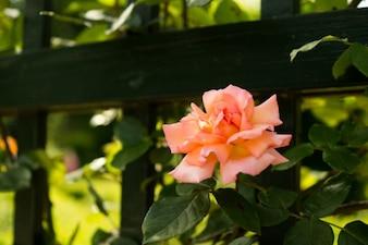Rosa rosa en el jardín