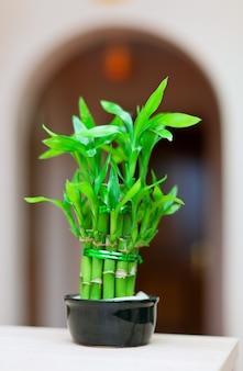 Planta de bambú suerte en el bote