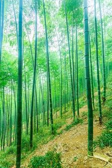 Planta japonesa natural bambú botánico