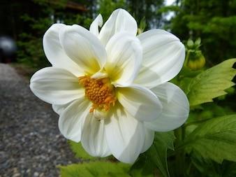 Planta, naturaleza, jardín, flor dalia