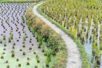 Plantación de arroz