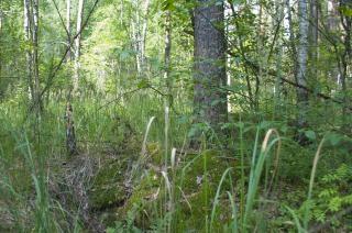 Forestales fotos y vectores gratis for Plantas forestales
